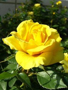 サプライズ(大苗予約)7号鉢植え  四季咲き中輪房咲き系(フロリバンダローズ)スプレー咲き バラ苗