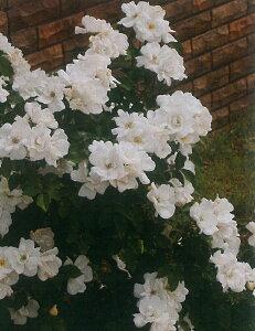 ホワイト・ノック・アウト(大苗予約)7号鉢植え  四季咲き中輪房咲き系(フロリバンダローズ)スプレー咲き バラ苗