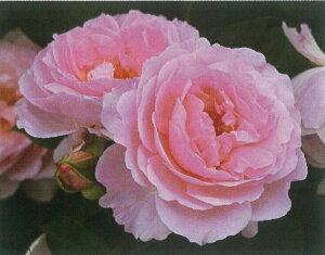 夢香(大苗予約)7号鉢植え  四季咲き中輪房咲き系(フロリバンダローズ)スプレー咲き バラ苗