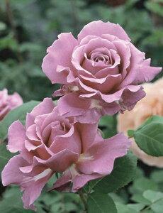 夢紫(大苗予約)7号鉢植え  四季咲き中輪房咲き系(フロリバンダローズ)スプレー咲き バラ苗