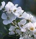スノーコーン(大苗)7号鉢植え バラ苗