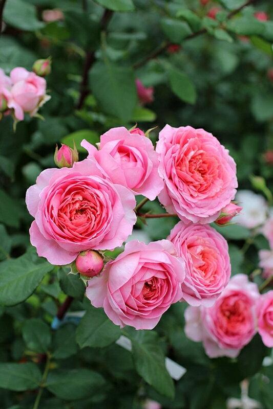アマンディーン・シャネル(大苗予約)7号鉢植え 繰り返し咲き ギヨー社・フランス GUILLOT