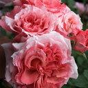 ローラン・カブロル(大苗予約)7号鉢植え 四季咲き ギヨー社・フランス GUILLOT