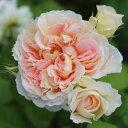 ヴェロニクB(大苗予約)7号鉢植え 四季咲き ギヨー社・フランス GUILLOT