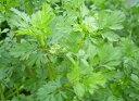 コリアンダー ハーブ苗 パクチー 香菜(チャンツァイ) 料理用