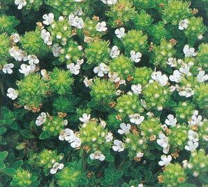 クリーピングタイム(白花) ハーブ苗 グランドカバー