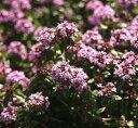 クリーピングタイム(赤花) ハーブ苗 グランドカバー