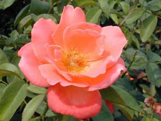 カトリーヌ・ドヌーブ(大苗予約)7号鉢植え  四季咲き大輪系(ハイブリッドティーローズ) バラ苗