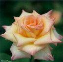 ダイアナ・プリンセス・オブ・ウェールズ(大苗)7号鉢植え  四季咲き大輪系(ハイブリッドティーローズ) バラ苗