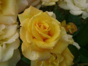 ゴールドメダル(大苗)7号鉢植え  四季咲き大輪系(ハイブリッドティーローズ) バラ苗