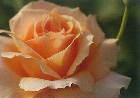 アプリコット・キャンディ《2012年新品種》(大苗予約)7号鉢植え  四季咲き大輪系(ハイブリッドティーローズ) バラ苗
