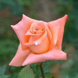 平安(へいあん)(大苗)7号鉢植え  四季咲き大輪系(ハイブリッドティーローズ) バラ苗