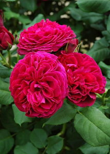 アストリット・G.V・ハルデンベルク(大苗)7号鉢植え  四季咲き大輪系(ハイブリッドティーローズ) バラ苗