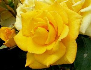 インカ(大苗予約)7号鉢植え  四季咲き大輪系(ハイブリッドティーローズ) バラ苗