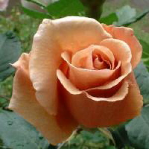 ジュリア(大苗予約)7号鉢植え  四季咲き大輪系(ハイブリッドティーローズ) バラ苗