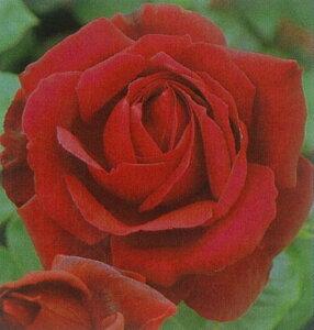 オクラホマ(大苗予約)7号鉢植え  四季咲き大輪系(ハイブリッドティーローズ) バラ苗