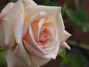 オフェーリア(新苗)6号鉢植え  四季咲き大輪系(ハイブリッドティーローズ) バラ苗