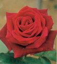 パパメイアン(大苗予約)7号鉢植え  四季咲き大輪系(ハイブリッドティーローズ) バラ苗 バラの殿堂入り