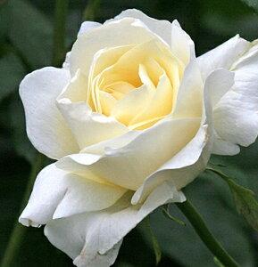 ホワイト・クイーン・エリザベス(大苗予約)7号鉢植え  ハイブリットティーローズ(四季咲き大輪) バラ苗