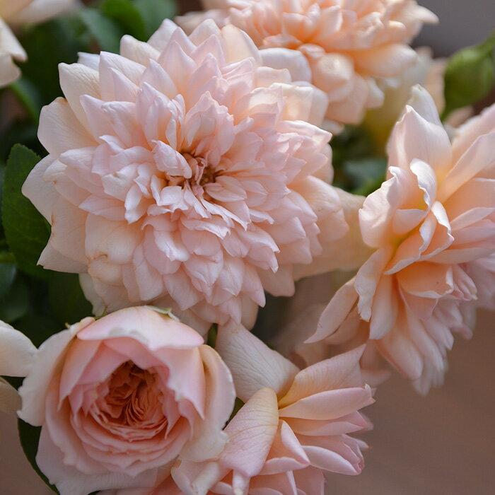 マリー・ルイーズ・ドゥ・ラ・ラメー(大苗予約)7号鉢植え バラ苗 ヤンスペック・ローゼン
