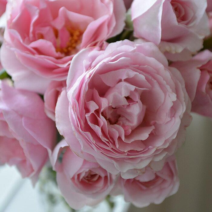 プリンセス・クレア・ドゥ・ベルシック(大苗予約)7号鉢植え バラ苗 ヤンスペック・ローゼン ピンク花
