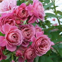 あおい(大苗)7号鉢植え 四季咲き中輪房咲き系 F&Gローズ フローリスト&ガーデナーズローズ バラ苗