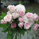 ハナミコウジ(大苗)7号鉢植え 四季咲き中輪房咲き系 F&Gローズ フローリスト&ガーデナーズローズ