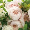 ひより(大苗予約)7号鉢植え 四季咲き中輪房咲き系 F&Gローズ フローリスト&ガーデナーズローズ
