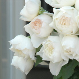 しずく(大苗予約)7号鉢植え 四季咲き中輪房咲き系 F&Gローズ フローリスト&ガーデナーズローズ バラ苗