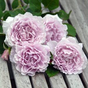 リベルラ(大苗予約)7号鉢植え 四季咲き中輪房咲き系 F&Gローズ ネオ・モダンシリーズ バラ苗