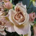 いおり(大苗)7号鉢植え 四季咲き中輪房咲き系 F&Gローズ フローリスト&ガーデナーズローズ バラ苗