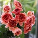 かおりかざり(大苗予約)7号鉢植え 四季咲き中輪房咲き系 F&Gローズ フローリスト&ガーデナーズローズ