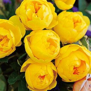 ル・ミエール(旧名:ラムのつぶやき)(大苗予約)7号鉢植え バラ苗 四季咲き 中輪(シュラブ) ジャパニーズスタイル Japanese Style