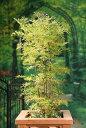 サンブカス・ゴールデンタワー 耐寒性落葉低木