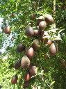 フィンガーライム・ブラウン 非耐寒性常緑低木 果樹