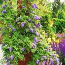 二季咲き藤 アメジストフォール 耐寒性落葉つる性植物