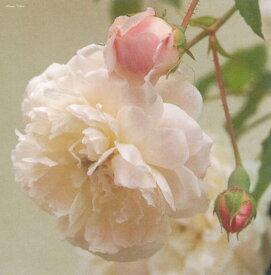 エメ・ヴィベール(大苗予約)7号鉢植え つるバラ  オールドローズ(アンティークローズ) バラ苗