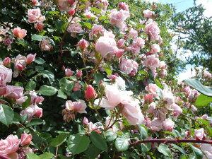 アルベルティーヌ(大苗予約)7号鉢植え つるバラ  オールドローズ(アンティークローズ) バラ苗