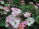 バレリーナ(大苗)7号鉢植え  オールドローズ(アンティークローズ) バラ苗