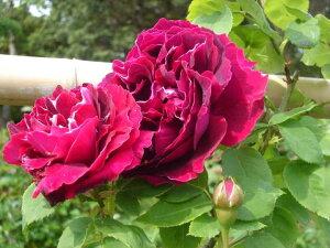 バロン・ジロー・ド・ラン(大苗予約)7号鉢植え  オールドローズ(アンティークローズ) バラ苗