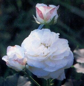 ブール・ドゥ・ネージュ(大苗予約)7号鉢植え  オールドローズ(アンティークローズ) バラ苗