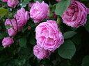 ブルボンクイーン(大苗予約)7号鉢植え つるバラ  オールドローズ(アンティークローズ) バラ苗