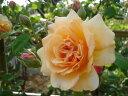 バフ・ビューティ(大苗)7号鉢植え  オールドローズ(アンティークローズ) バラ苗