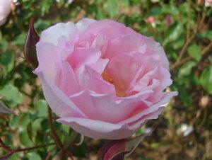デュセス・ドゥ・ブラバン(大苗予約)7号鉢植え  オールドローズ(アンティークローズ) バラ苗