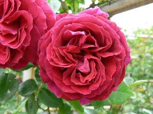 デューク・オブ・エディンバラ(大苗予約)7号鉢植え  オールドローズ(アンティークローズ) バラ苗