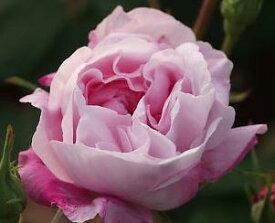 ファンタン・ラトゥル(大苗予約)7号鉢植え  オールドローズ(アンティークローズ) バラ苗