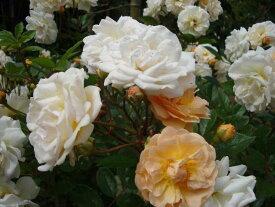 フェリシア(大苗予約)7号鉢植え  オールドローズ(アンティークローズ) バラ苗