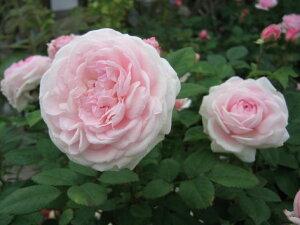 粉粧楼(フン ショウ ロウ)(大苗予約) 7号鉢植え  オールドローズ(アンティークローズ) バラ苗