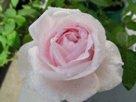 スヴニール・ドゥ・ラ・マルメゾン(大苗予約)7号鉢植え  オールドローズ(アンティークローズ) バラ苗