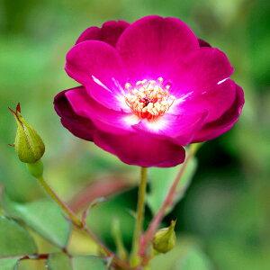 江戸の庚申(エドノコウシン)(大苗予約)7号鉢植え  オールドローズ(アンティークローズ) バラ苗